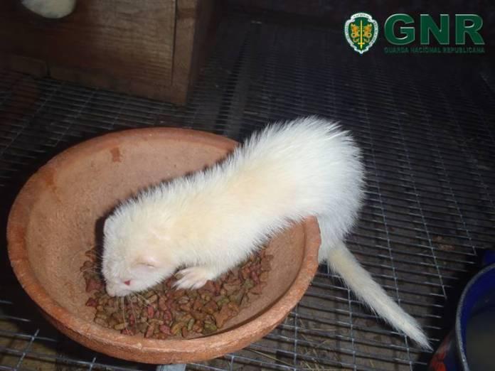 GNR de Mangualde apreendeu 11 furões albinos a um indivíduo de 56 anos.